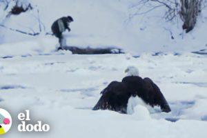 Águila calva congelada en el lago es encontrada justo a tiempo | El Dodo