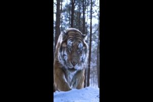 Amazing Wild Animals Attacks - Wild Animal Fights Caught   | Wild Animals Ultimate Fights #Shorts