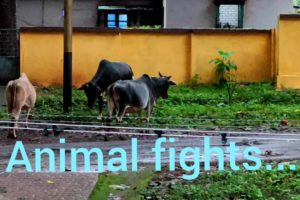 🐂🐄🐃Animal fights.... 🐂🐄🐃Must watch this amazing video.🐂🐄🐃