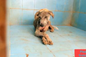 Animal rescues   Amazing Rescue of Old dog suffering with pain