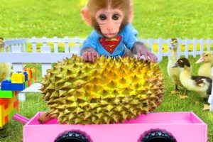 Baby monkey Bon Bon harvests durians and plays with farm animals