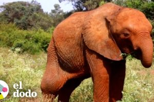 Bebé elefante huérfano obtiene una gran familia nueva | El Dodo