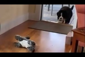 Bernese puppy stalks and pounces on stuffed animals