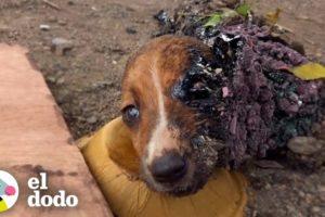 Cachorros atrapados en alquitrán reciben un baño de 3 días | El Dodo