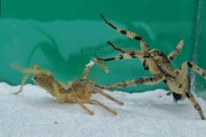 Camel Spider VS Tarantula | Animal Fights