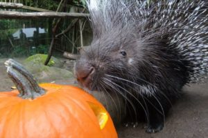 Cute Animals Play With Pumpkins