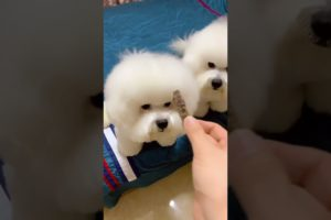 Cute Puppies Doing Funny Things! Baby Dogs Cute and Funny Dog Videos
