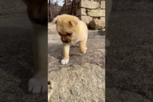 Cutest Puppies Compilation Dog Funny Things #shortvideos #FunnyShorts #467
