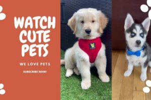 Cutest Puppies on TIKTOK [COMPILATION OF GOLDEN & HUSKY]! Dance&Eletronic - No Copyright Music!
