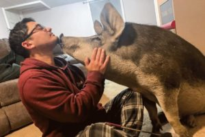 Dinner pig won't stop kissing his rescuers