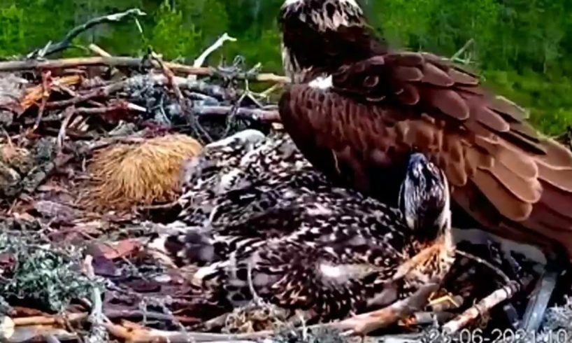 Discovery Wild Animal Fights । OMG! Chew The Cheetah's Head, Eagles Catch Cheetah Cubs, Animal