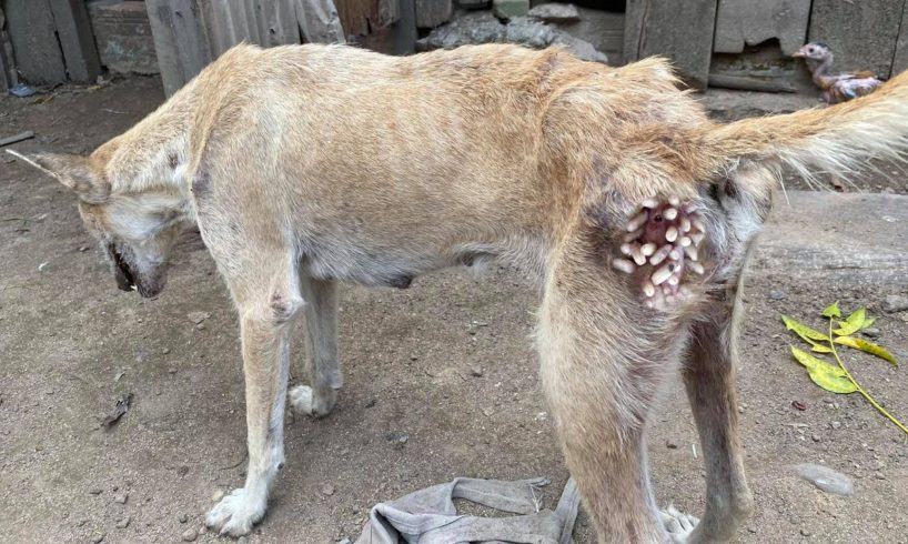 Hopeless Dog Rescued From Huge Maggots - Animal Rescue Video