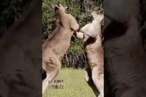 Kangaroo Fight #2 Funny Animal Fights