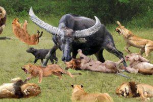 King Buffalo vs Lion REAL FIGHT - Best Moments Of Lion vs Buffalo Fight || Wild Animals 2021