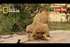 Lion sex | Wild Animals mating documentary on YouTube | geo World _ Wildlife animals channel
