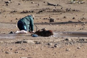 Man Rescues Impala From Mud