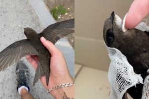 Man Rescues Swift And Gets It Back To Full Health