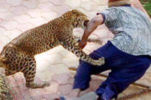 OMG ! Amazing Wild Animals Attacks - Leopard Attacks Human | Wild Animal Fights Caught On Camera