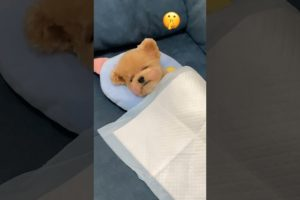OMG So Cutest Puppies 2021🥰#53 Funny and 😍Cute Pomeranian