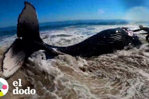Personas trabajan por cuatro horas para ayudar a la ballena jorobada volver al océano | El Dodo
