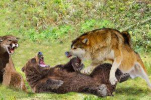 Puma VS Wolf VS Bear - Amazing Wild Animals Fights Comparisons! (Animated)