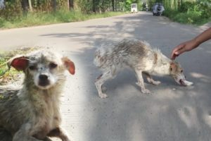 Rescue Skinny Dog Starving Pittie Transforms Cute Dog...#shorts #animals #god