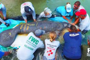 The Great Animal Rescues Of The 2021 | Manatee Back Into Wild Just Hours After Rescue