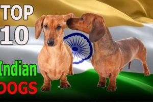 Top 10 Indian Dog Breeds | Top 10 animals