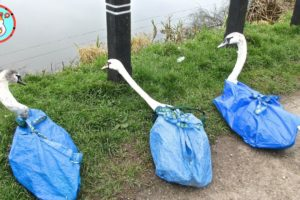 Trying To Save A Very ANGRY Swan Tangled In Fishing Net | Dramatic Rescue
