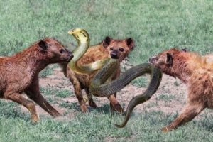 Wild Animal Fight- Snake Vs Hyenas Attacks To The Last Breath