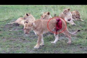 Wild animals fight to death | CRAZIEST Animal Fights Caught | Python , Leopard , Porcupine