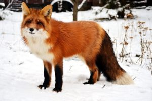 Wild young red fox playing, | fox videos animals | khoji diary