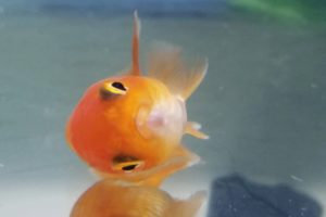 Woman adopts disabled pet store fish