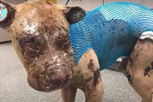 Worst Matting you've Ever Seen | Rescue Shelter Dogs Injured