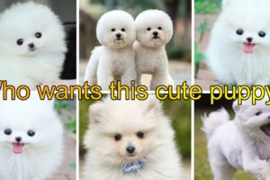 beautiful puppies|innocent puppies|cute puppies|funny puppy|puppies video|cute puppies|golden puppy