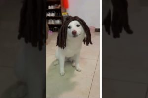 #funnyvideos  #shorts #playfulpets #animals #dogs  #short #pets #hoodfights #hood fights